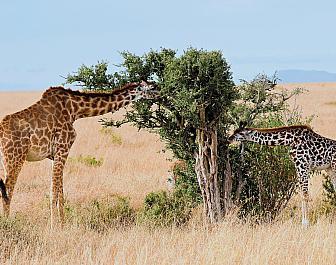 Národní parky Keňa, safari a žirafy