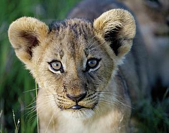 Národní parky Keňa, safari a lvi
