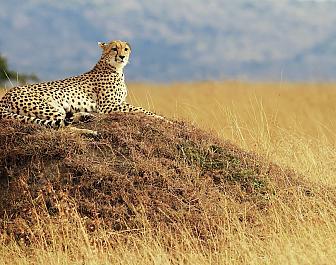 Národní parky Keňa, safari a gepard
