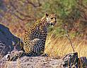 Národní parky Keňa, safari a levhart
